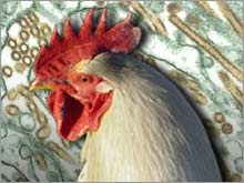 avian_flu_virus_chicken.03.jpg