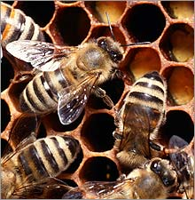 honeybees.ce.03.jpg