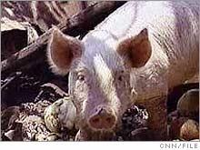 pig_pork.03.jpg