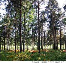pine_forest.03.jpg